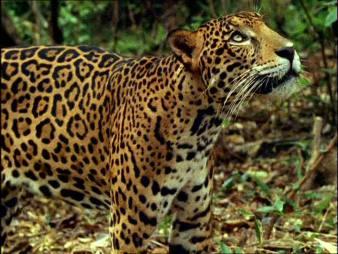 907069910-giaguaro-foresta-pluviale-tropicale-america-centrale-predatore